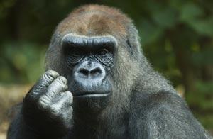 20090805192648-gorilla.jpg