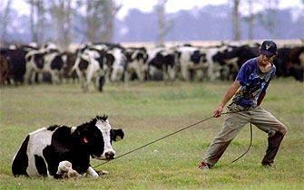 20100927201851-vacas.jpg