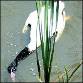 20060715014408-cisnes.jpg