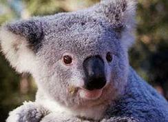 20080406015115-koala.jpg