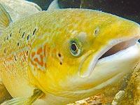 El naufragio del salmón
