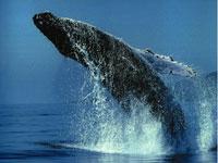 Ballenas seguirán amenazadas pese a creación de santuario