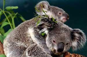 Estrés mata a koalas australianos